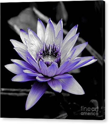 A Touch Of Purple Canvas Print by Carol Groenen