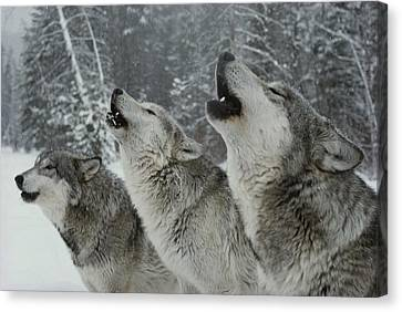 A Trio Of Gray Wolves, Canis Lupus Canvas Print by Jim And Jamie Dutcher