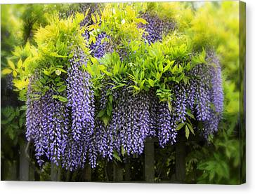 A Wealth Of Wisteria Canvas Print by Jessica Jenney