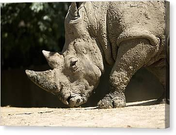 A White Rhino Sniffs The Dust Canvas Print by Joel Sartore