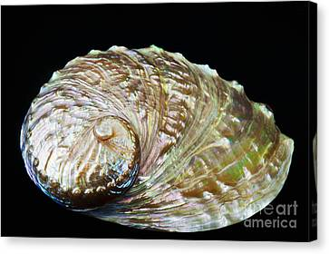 Abalone Shell Canvas Print by Bill Brennan - Printscapes