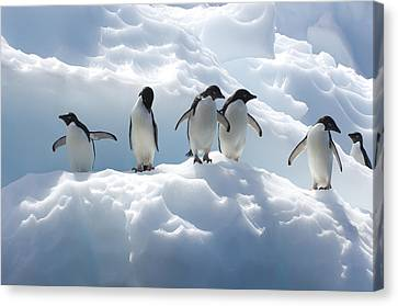 Adelie Penguins Lined Up On An Iceberg Canvas Print by Tom Murphy