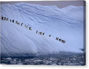 Adelie Penguins Totter Single File Canvas Print by Des &Amp Jen Bartlett