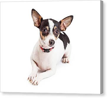 Adorable Chihuahua Dog Laying  Canvas Print by Susan  Schmitz