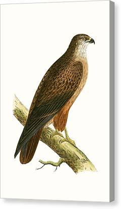 African Buzzard Canvas Print by English School