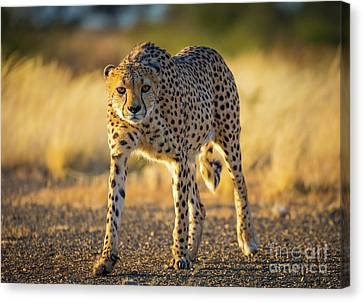African Cheetah Canvas Print by Inge Johnsson