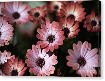 African Daisy Zion Red Canvas Print by Joy Watson