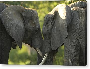 African Elephants Loxodonta Africana Canvas Print by Joel Sartore