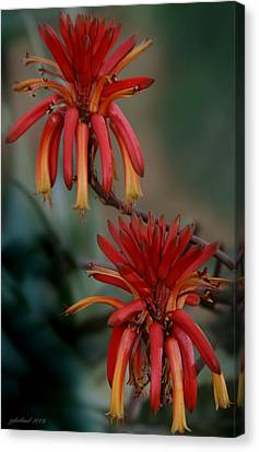 African Fire Lily Canvas Print by Joseph G Holland