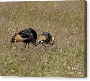 African Grey Crowned  Crane With Chick Canvas Print by Joseph G Holland