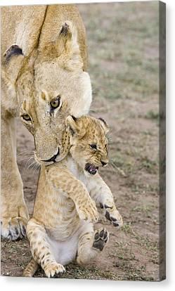 African Lion Mother Picking Up Cub Canvas Print by Suzi Eszterhas
