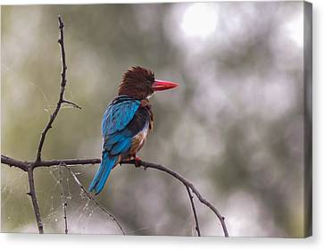 After The Dive - White-throated Kingfisher Canvas Print by Ramabhadran Thirupattur