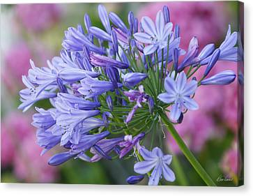 Agapanthus Canvas Print by Diana Haronis