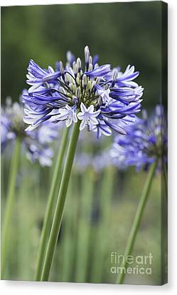 Agapanthus Multicolour Canvas Print by Tim Gainey