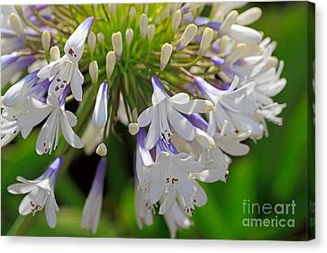 Agapanthus Queen Mum Canvas Print by Louise Heusinkveld