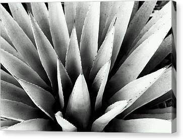 Agave In Black And White Canvas Print by Heather S Huston