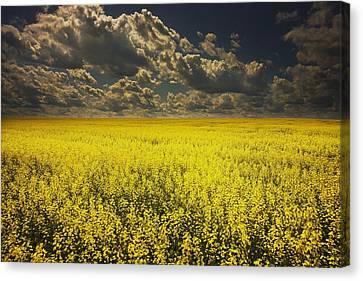 Alberta, Canada A Canola Field Under Canvas Print by Darren Greenwood