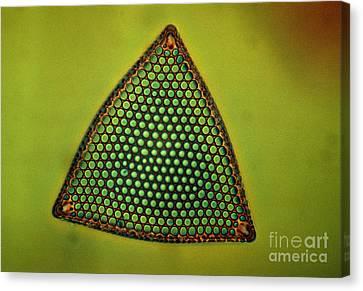 Algae, Diatom, Triceratium Ladus, Lm Canvas Print by Eric Grave