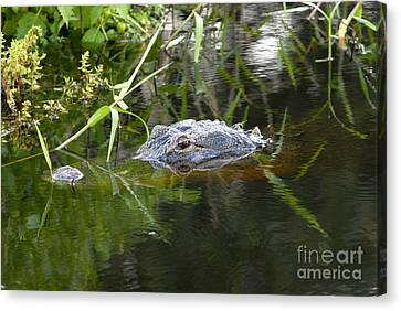 Alligator Hunting Canvas Print by David Lee Thompson