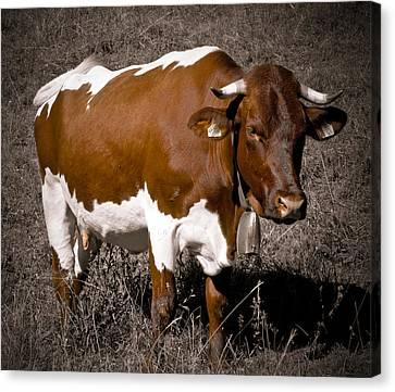 Alpine Cow Canvas Print by Frank Tschakert