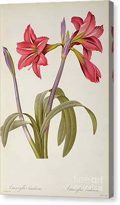 Amaryllis Brasiliensis Canvas Print by Pierre Redoute