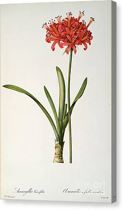 Amaryllis Curvifolia Canvas Print by Pierre Redoute