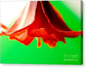 Amaryllis Horn Red Amaryllis Trumpet Flower Hanging On A Green Background Canvas Print by Andy Smy