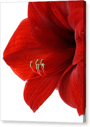 Amaryllis On White 3 Canvas Print by Angela Rath