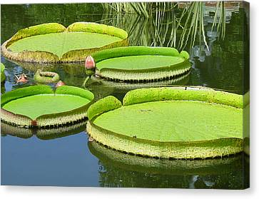 Amazonas Water Lily Pads Canvas Print by Suzanne Gaff