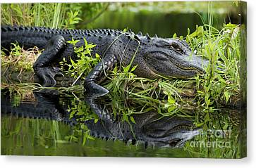 American Alligator In The Wild Canvas Print by Dustin K Ryan
