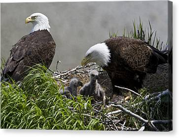 American Bald Eagles, Haliaeetus Canvas Print by Roy Toft
