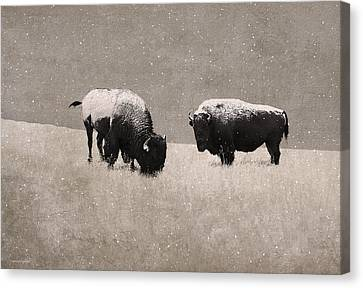 American Bison Canvas Print by Ron Jones