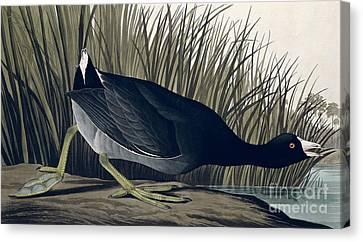American Coot Canvas Print by John James Audubon