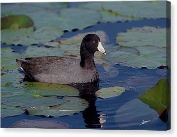 American Coot Canvas Print by Phil Jensen