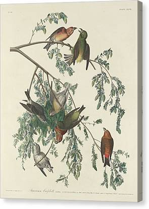 American Crossbill Canvas Print by John James Audubon