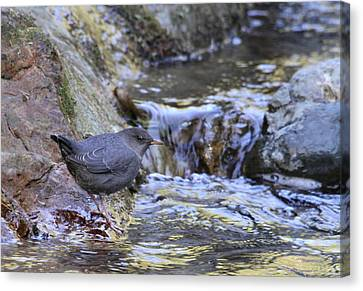 American Dipper Canvas Print by Angie Vogel