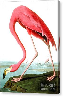 American Flamingo Canvas Print by John James Audubon
