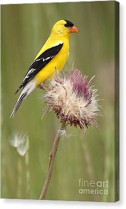 American Goldfinch On Summer Thistle Canvas Print by Max Allen