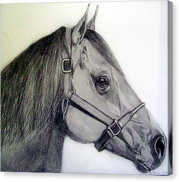 American Quarter Horse Canvas Print by Gary Stull