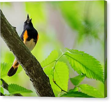 American Redstart Canvas Print by Bill Wakeley