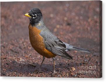 American Robin Canvas Print by Twenty Two North Photography