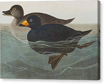 American Scoter Duck Canvas Print by John James Audubon
