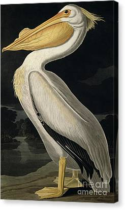 American White Pelican Canvas Print by John James Audubon