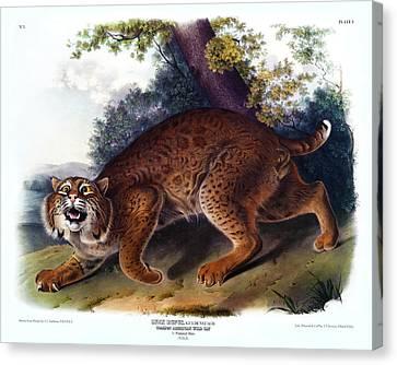 American Wild Cat Antique Print Audubon Quadrupeds Of North America Plate 1 Canvas Print by Orchard Arts