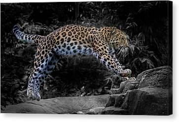 Amur Leopard On The Hunt Canvas Print by Martin Newman