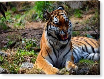 Amur Tiger 3 Canvas Print by Angelina Vick
