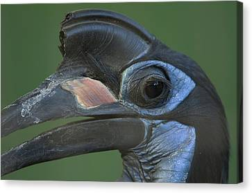An Abyssinian Ground Hornbill Canvas Print by Joel Sartore