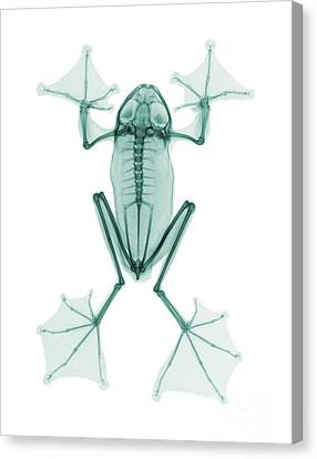 An X-ray Of A Flying Frog Canvas Print by Ted Kinsman