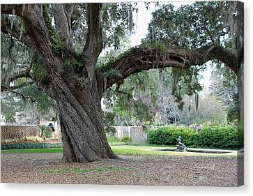 Ancient Live Oak Canvas Print by Suzanne Gaff
