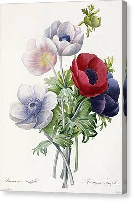 Anemone Simple Canvas Print by Pierre Joseph Redoute